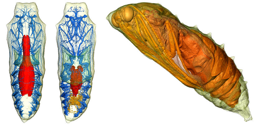 Metamorphosis revealed: three dimensional imaging inside a living chrysalis.